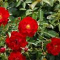 薔薇(マイナウフォイアー)