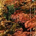 写真: 北山の紅葉 2