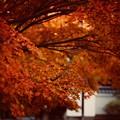 写真: 紅葉 4