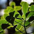 写真: 緑葉