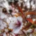 写真: やっと桜がきた