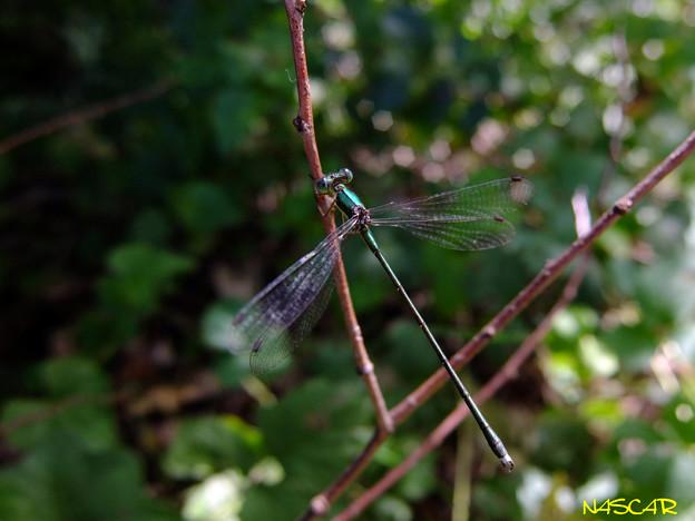 アオイトトンボ(青糸蜻蛉) 05102017