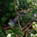 写真: アオイトトンボ(青糸蜻蛉) 05102017