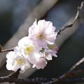 写真: ジュウガツザクラ(十月桜) 27102017