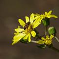 写真: ツワブキ(石蕗、艶蕗)とナミハナアブ(並花虻) 27102017