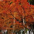 写真: 竹林に紅葉 04122017