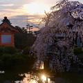 写真: 夕暮れ桜 ☆