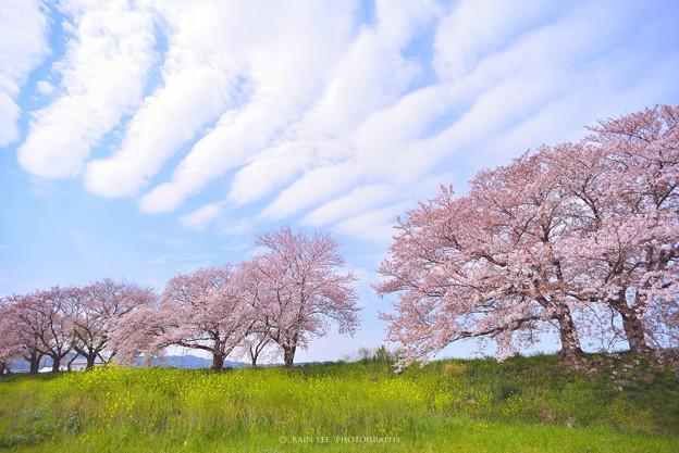 【 櫻花の恋 】。 雲/ 吉野櫻