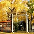 枝垂れ銀杏の木