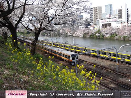 桜と菜の花と電車2