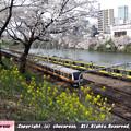 Photos: 桜と菜の花と電車2