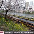 桜と菜の花と電車3