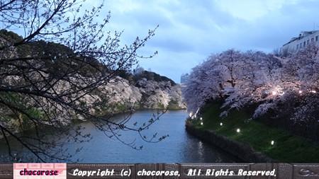 千鳥ヶ淵の桜2