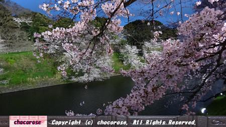 千鳥ヶ淵の桜3
