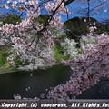 Photos: 千鳥ヶ淵の桜3