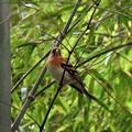 竹藪のアトリ