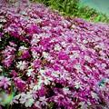 写真: 地に咲く桜