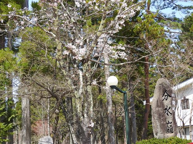 分水嶺の桜