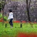 写真: 彼岸花の咲く場所
