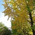 写真: 大きな銀杏の木の下で