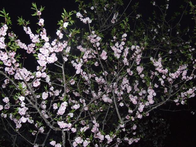 写真: 平岡梅林公園 (8)紅梅