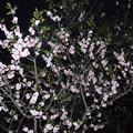 平岡梅林公園 (8)紅梅