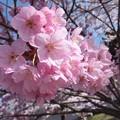 写真: 川桁の桜