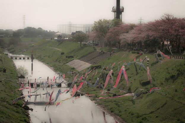 桜と鯉@運河