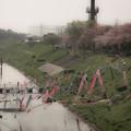 写真: 桜と鯉@運河
