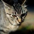 写真: 男前の猫1@八丁湖
