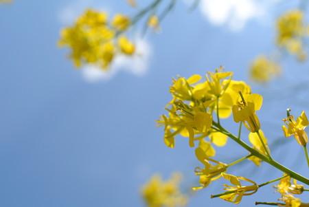 多摩川の菜の花