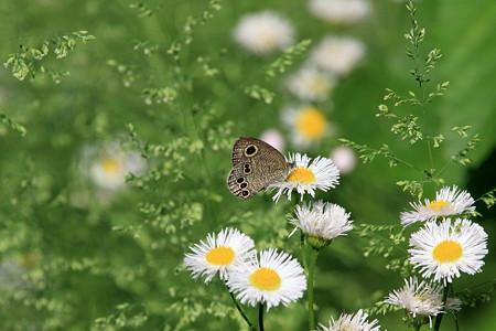 2012.05.12 追分市民の森 ハルジオンにヒメウラナミジャノメ