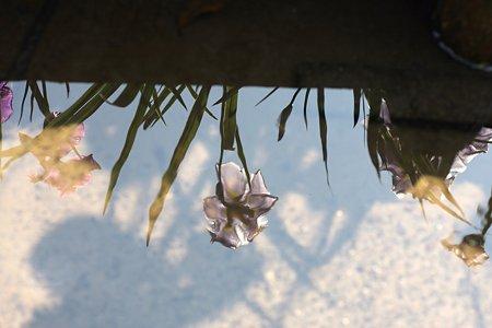 2009.06.07 明月院 本堂後庭園 花菖蒲