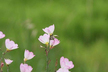 2009.06.14 追分市民の森 モモイロヒルザキツキミソウで働く蟻