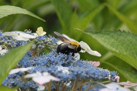 2009.06.14 追分市民の森 紫陽花とクマバチ