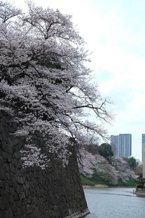 2017.04.06 清水門 桜