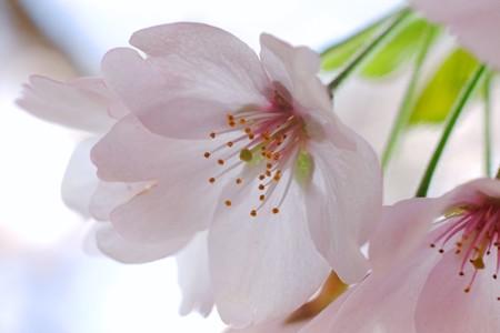2017.04.12 追分市民の森 ソメイヨシノ