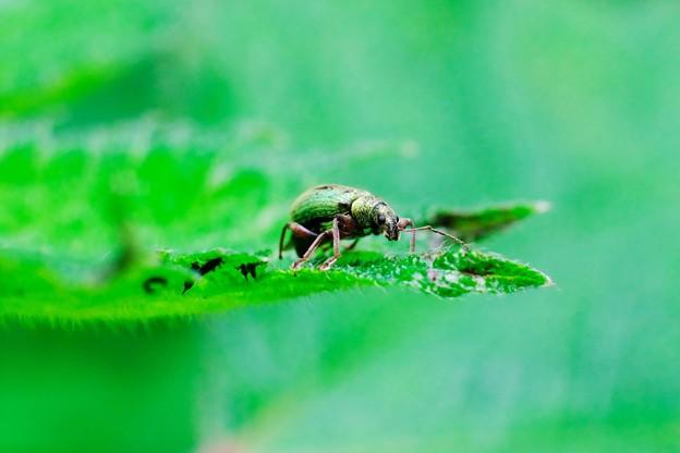 写真: 2017.05.16 追分市民の森 ウスイロヒゲボソゾウムシ