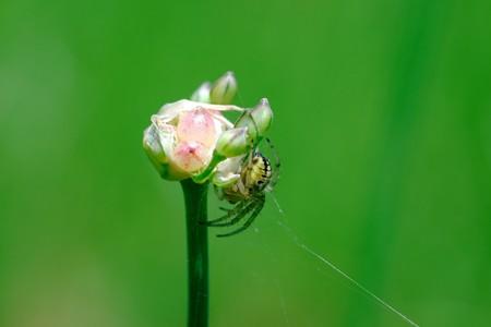 2017.05.21 追分市民の森 野蒜の花咲く前に蜘蛛