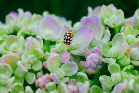 2017.05.30 和泉川 紫陽花にムツキボシツツハムシ