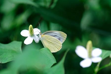 2017.06.05 瀬谷市民の森 ドクダミにスジグロシロチョウ