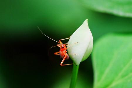 2017.06.05 瀬谷市民の森 ドクダミに赤い小さな虫