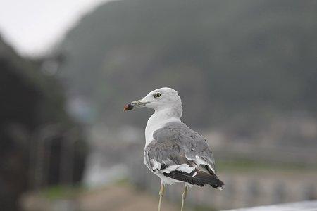 2009.08.13 男鹿半島 弁天橋 ウミネコ