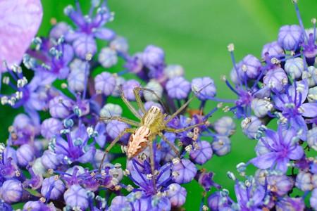 2017.07.07 瀬谷市民の森 紫陽花にササグモ