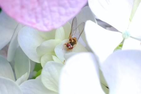 2017.07.07 瀬谷市民の森 紫陽花にヒラタアブ 蜘蛛の獲物