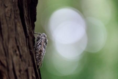 2017.08.19 瀬谷市民の森 ヒグラシにセミノハリセンボン 冬虫夏草