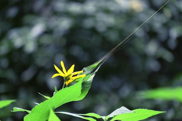 2017.09.22 追分市民の森 キクイモ が金色の蜘蛛の糸に引かれて