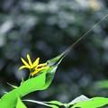 Photos: 2017.09.22 追分市民の森 キクイモ が金色の蜘蛛の糸に引かれて