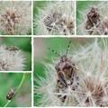 写真: 2017.10.11 追分市民の森 ブタナの綿毛からブチヒゲカメムシ
