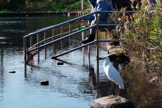 2017.12.07 和泉川 へら鮒釣 脇にコサギ